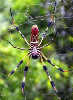 Nephila clavipes by flowerhippie22