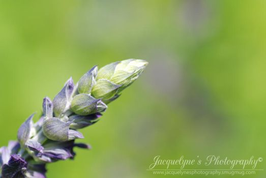 Budding with purple by JlynePhotography