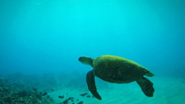 Moss Green Sea Turtle by Raulboy