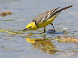 fly fishing - Citrine Wagtail by Jamie-MacArthur