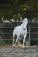 White horse stock 1 by Aestivall-Stock