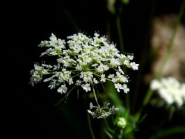 Queen Ann's Lace by Musicalcupcake93
