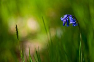 Little Blue Bells by salman-khan